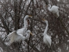 egrets-in-trees